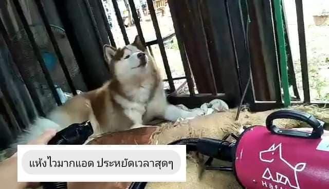 ไดร์เป่าขนสุนัข ไซบีเรียน ฮัสกี้